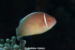 Pink Skunk Clownfish, Manado. Nauticam NA_D7000, 60mm Mac... by Andrew Green 